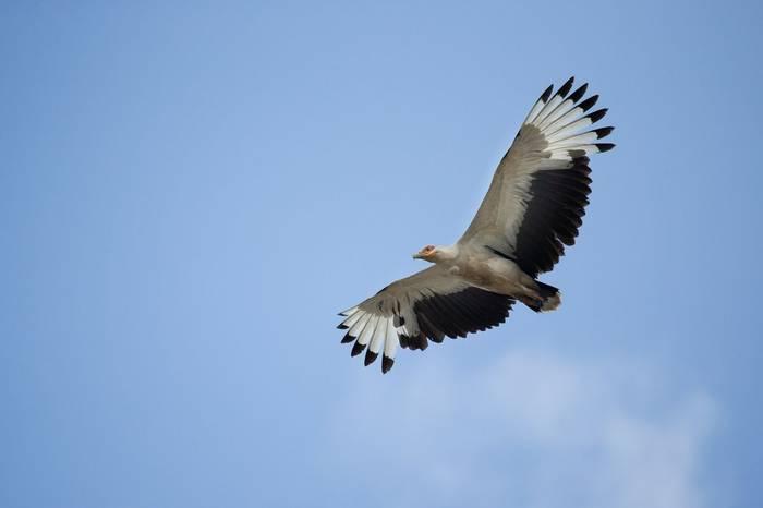 Palm Nut Vulture, Tanzania Shutterstock 236612302 2