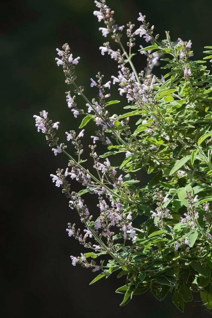 Salvia pomifera (Mike Vickers)