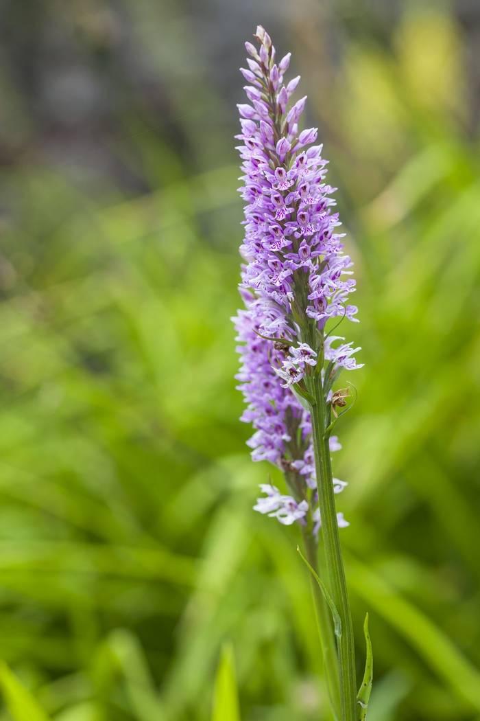 Broad-Leaved Marsh Orchid