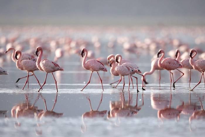 Lesser Flamingo, Lake Nakuru NP, Kenya (Prasit Chansareekorn)