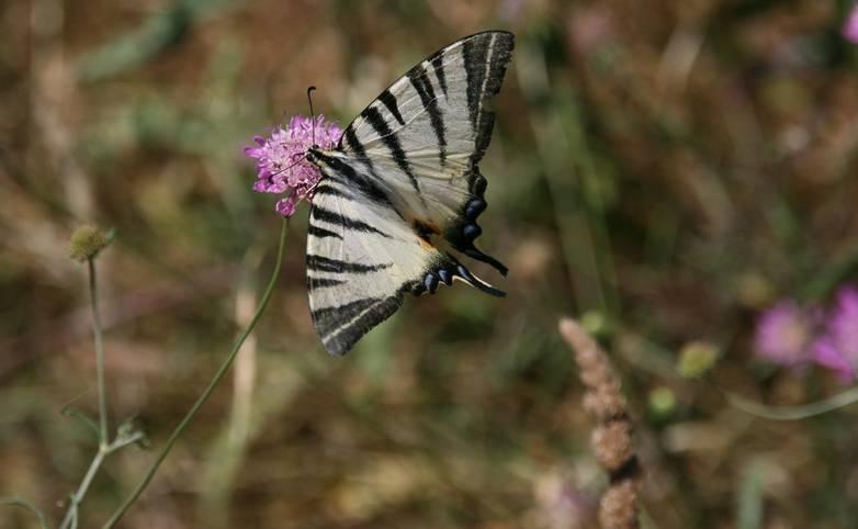 Italy - Swallowtail Butterfly - Amalfi Coast.jpg