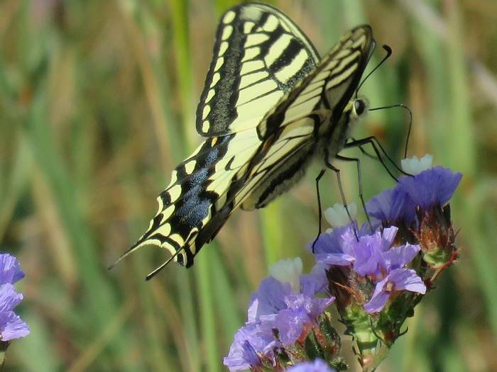 Swallowtail, Cape Depanon, Pegeia (Heather Osborne)
