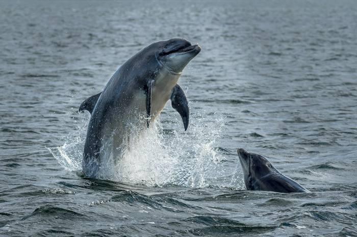 Bottlenose Dolphins, Scotland shutterstock_1478693840.jpg
