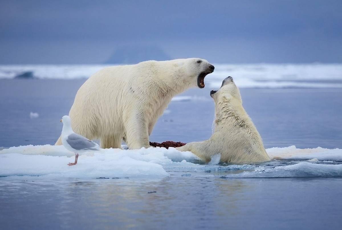 Polar Bear shutterstock_469182692.jpg