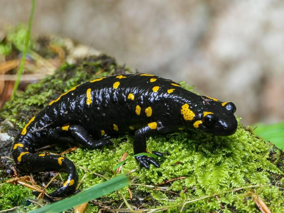 Fire Salamander (Ian Tulloch)