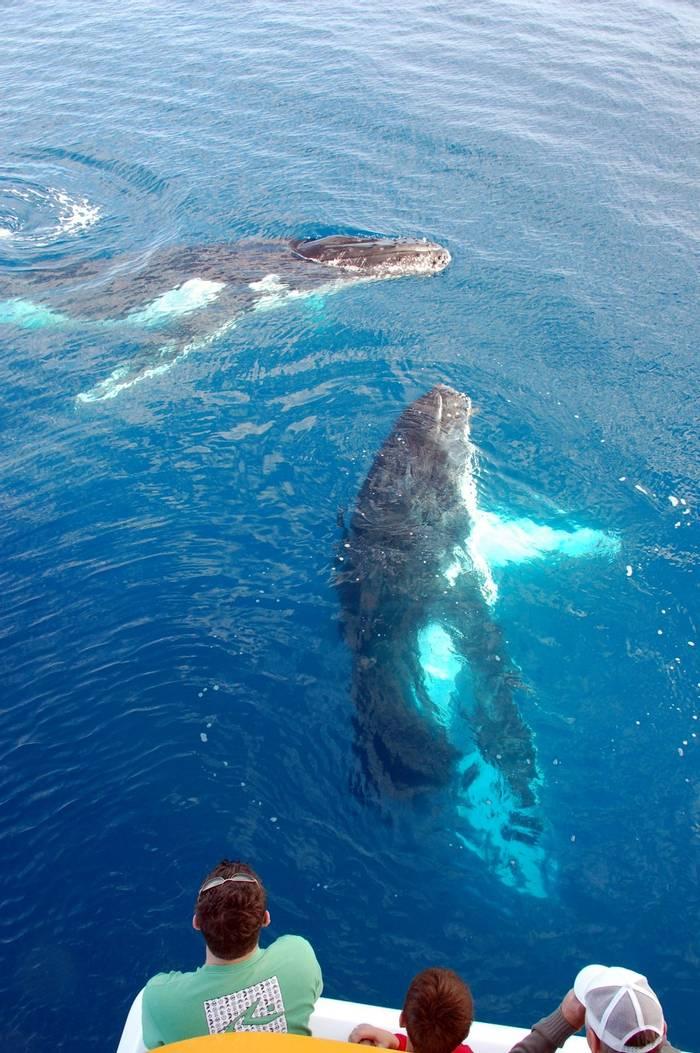 Humpback Whales, Australia. shutterstock_43277833.jpg