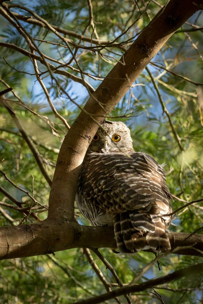 Powerful Owl, Australia shutterstock_1052332778.jpg