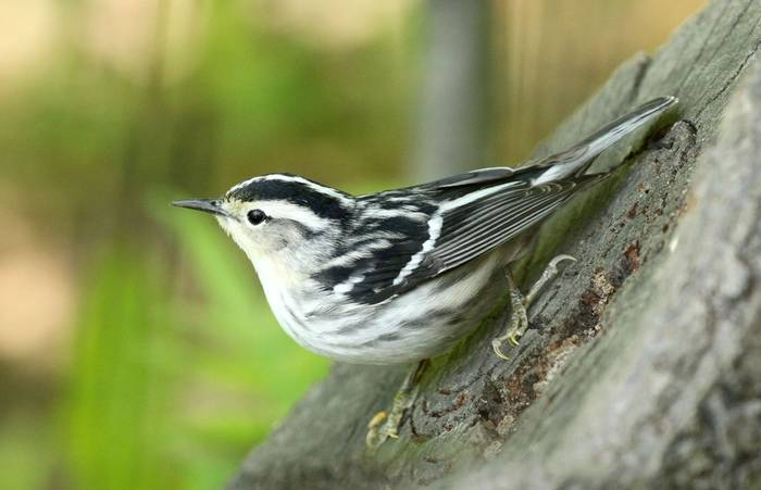 Black and White Warbler (James Lees)