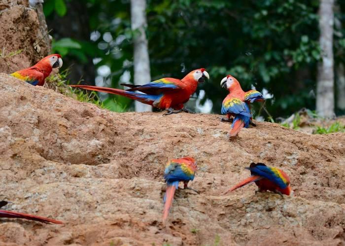 Scarlet Macaws (Stephen Woodham)