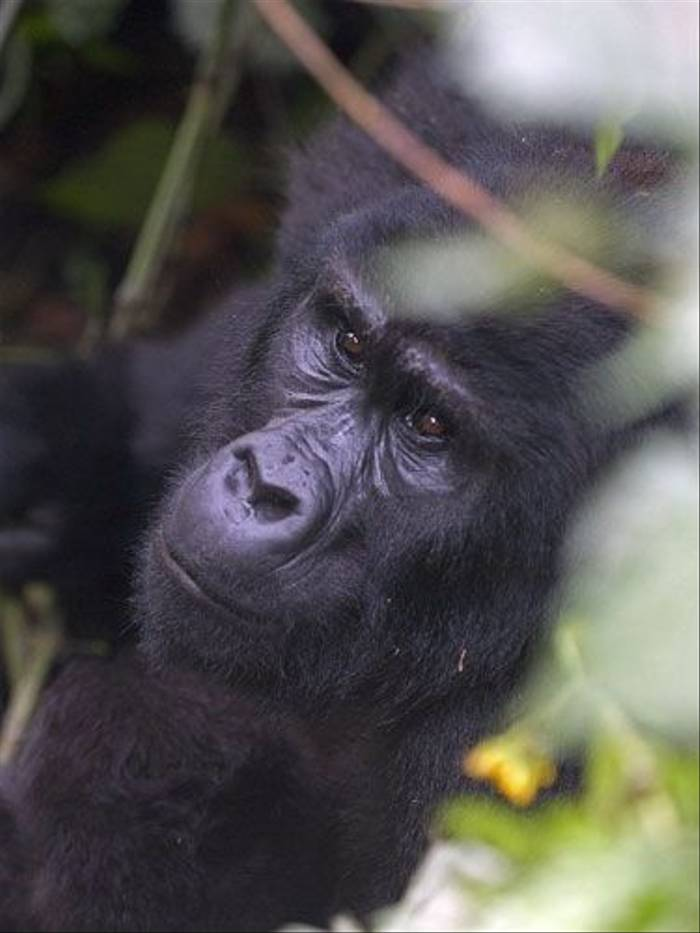 Mountain Gorilla portrait (Peter Price)