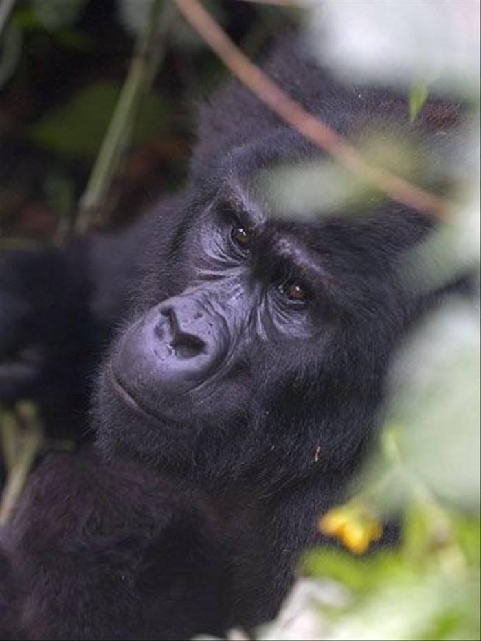Mountain Gorilla portrait (Peter Price)