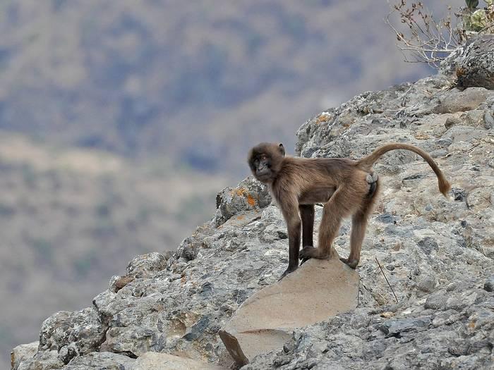 Young Gelada On Its Clifftop Habitat (Tim Melling)