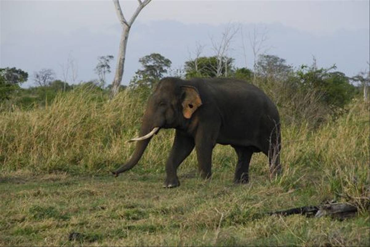 Asian Elephant, Uda Walawe National Park (Thomas Mills)
