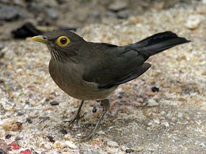 Bare-eyed Thrush (Peter Dunn)