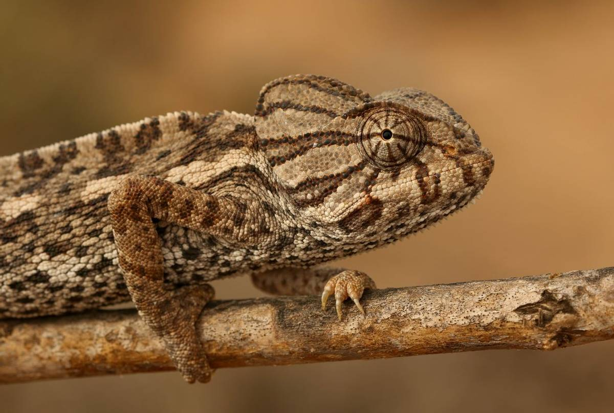 Mediterranean Chameleon (Chamaeleo chamaeleon).jpg