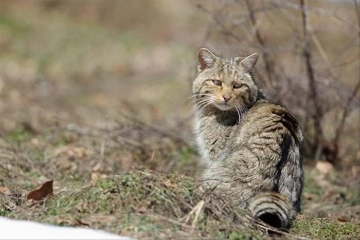 Wildcat (Dominic Boyer)