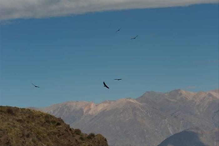 Andean Condors, Colca Canyon (David Allison)