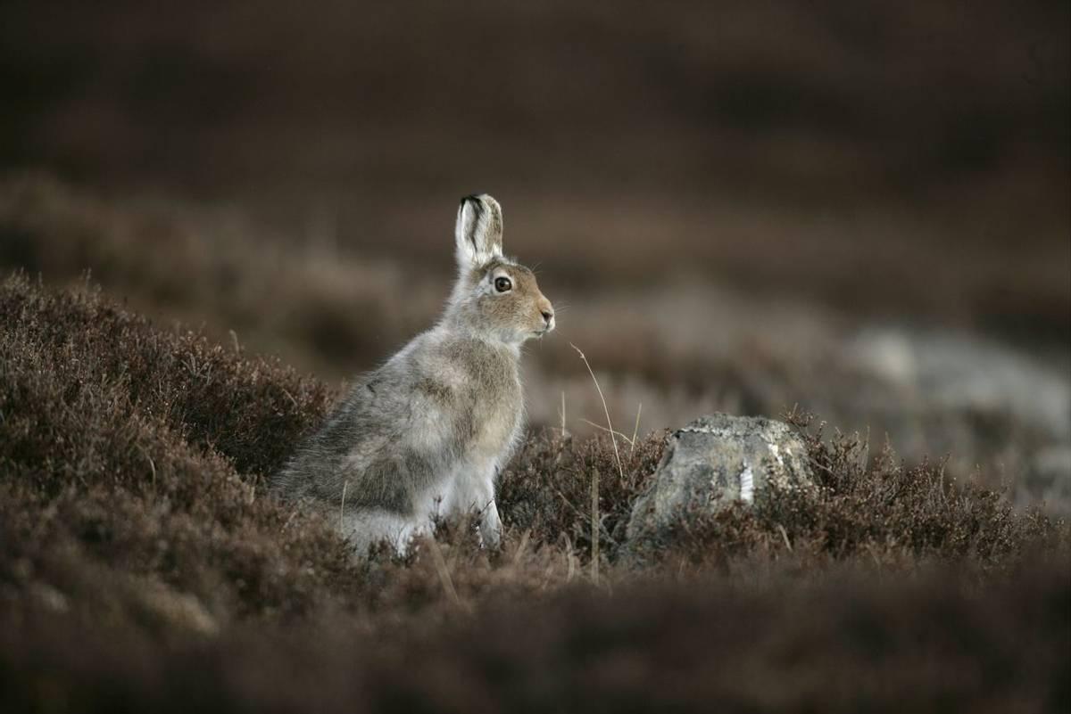 Mountain hare, Lepus timidus, single mammal on heather, spring coat, Scotland