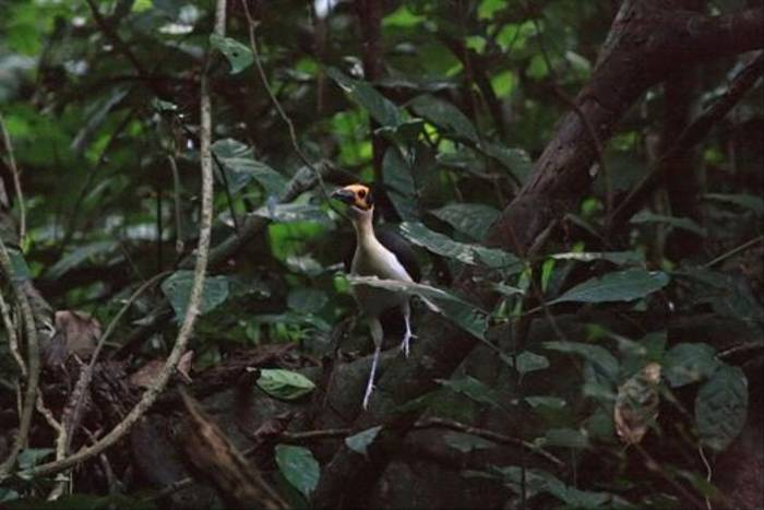Yellow-headed Picathartes (Mike Watson)