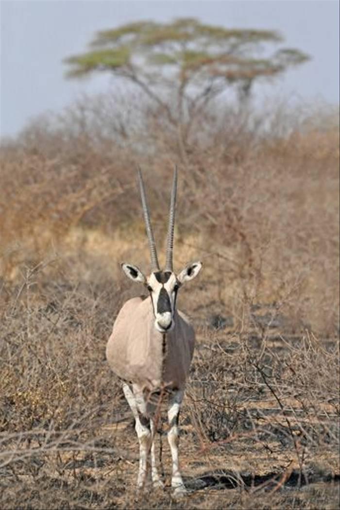 Beisa Oryx (Tim Melling)