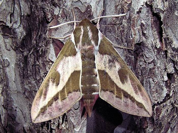 Spurge Hawk-moth (Peter Dunn)