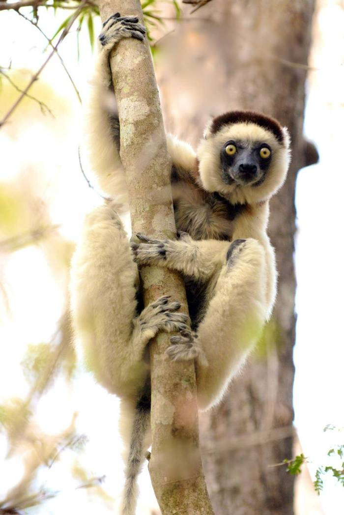 Verreaux's Sifaka (Cathy Harlow)