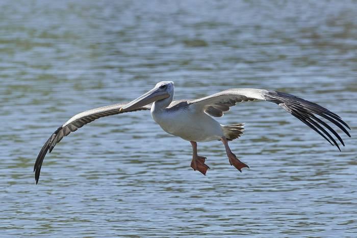 Pink-backed pelican (Pelecanus rufescens), The Gambia shutterstock_1768537064.jpg