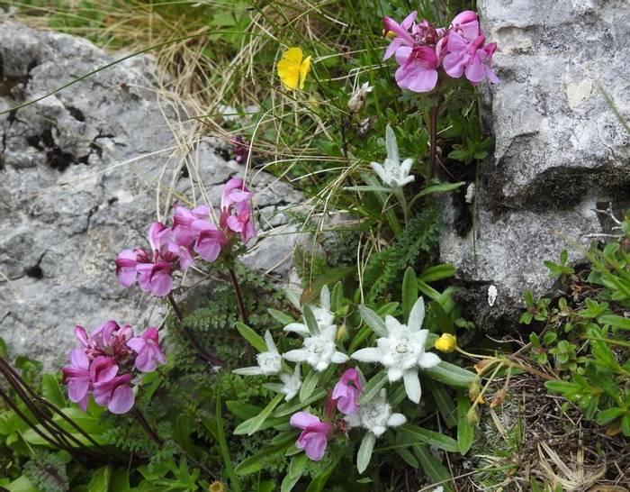 DSCN9782 Leontopodium Alpinum & Pedicularis Rostratocapitata