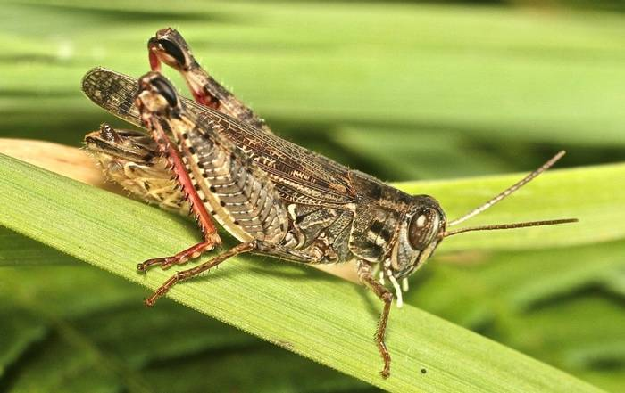 Calliptamus italicus - a grasshopper species (Alan Outen)