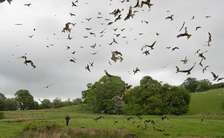 The Red Kite Centre in Gigrin, Rhayader, Powys, Mid Wales