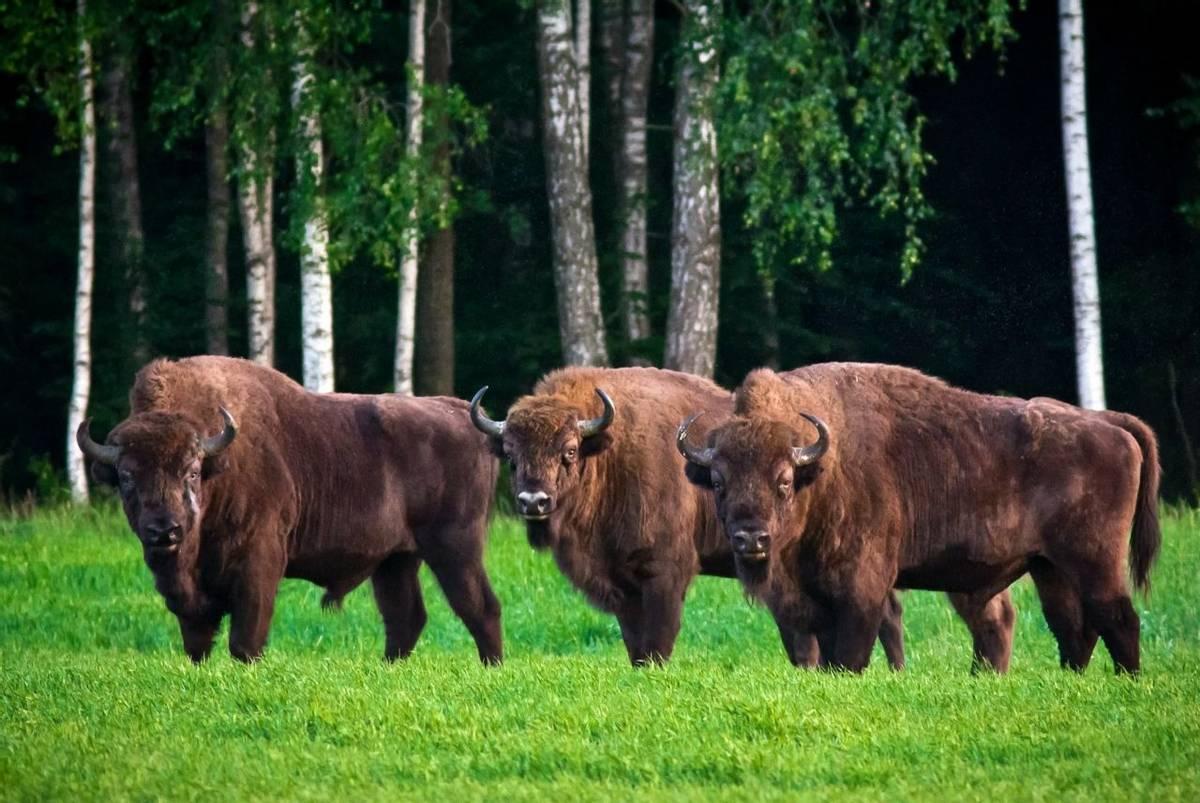 European Bison, Belarus shutterstock_676976212.jpg