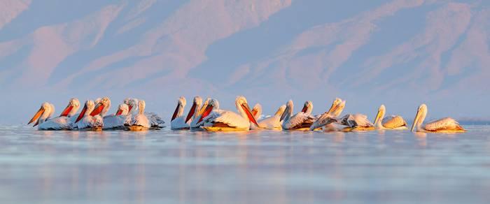 Dalmatian-Pelicans,-Lake-Kerkini,-Greece-shutterstock_1495143593.jpg