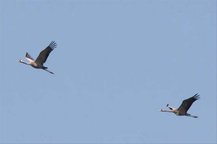 Common Cranes (Alan Outen)