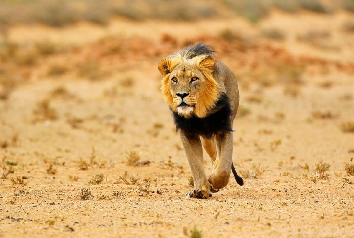 Black-maned lion