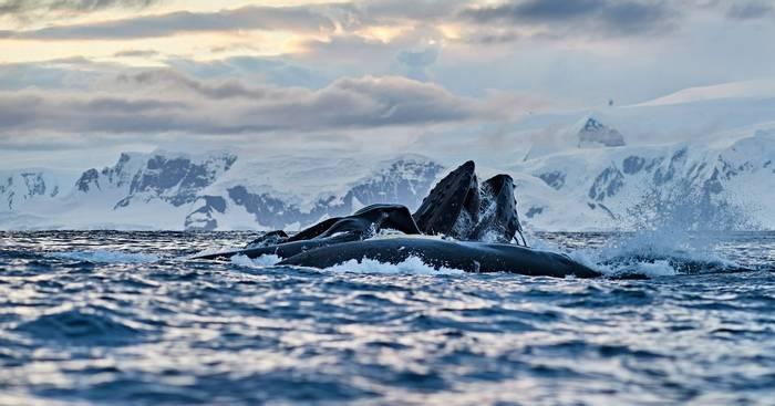 Humpback Whales, Antarctica Shutterstock 1009142845
