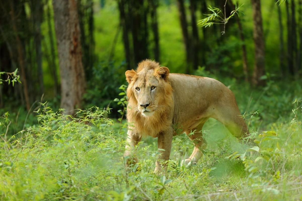 Asiatic Lion. Shutterstock.