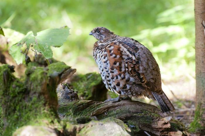 Hazel Grouse.