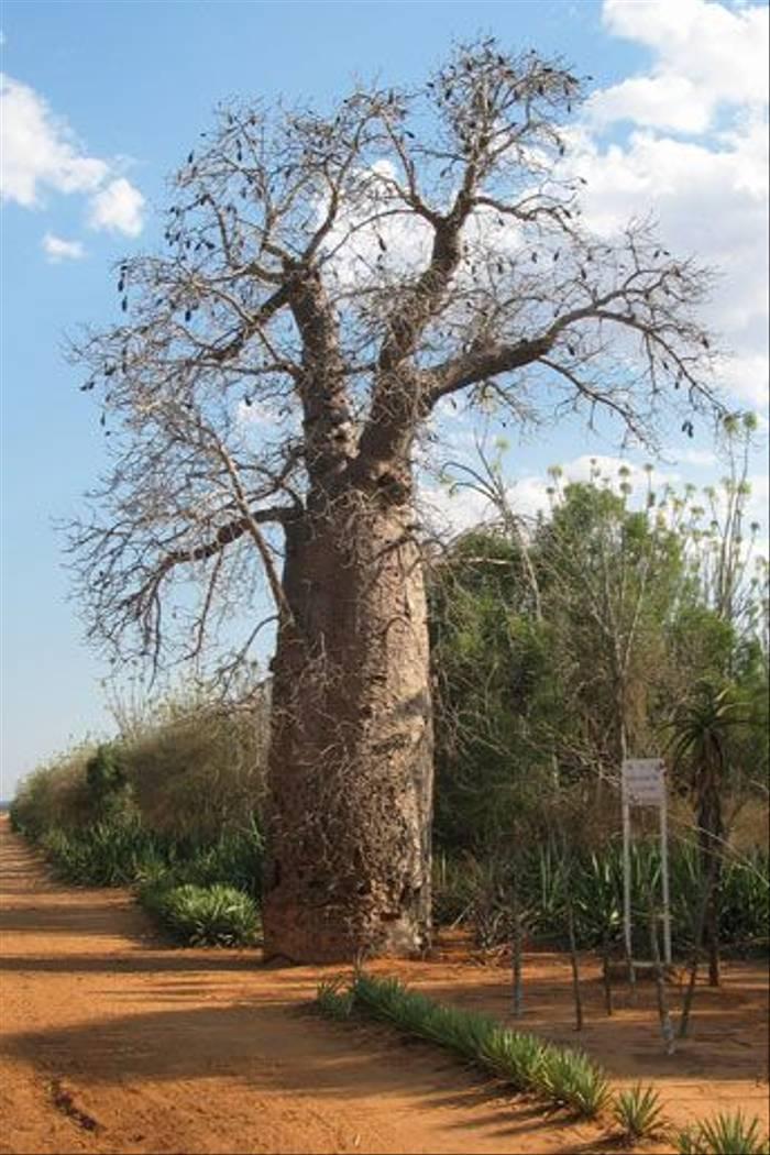 Za Baobab (Adansonia za)