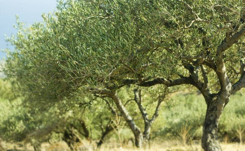 Beautiful green olive trees in Greece during summer