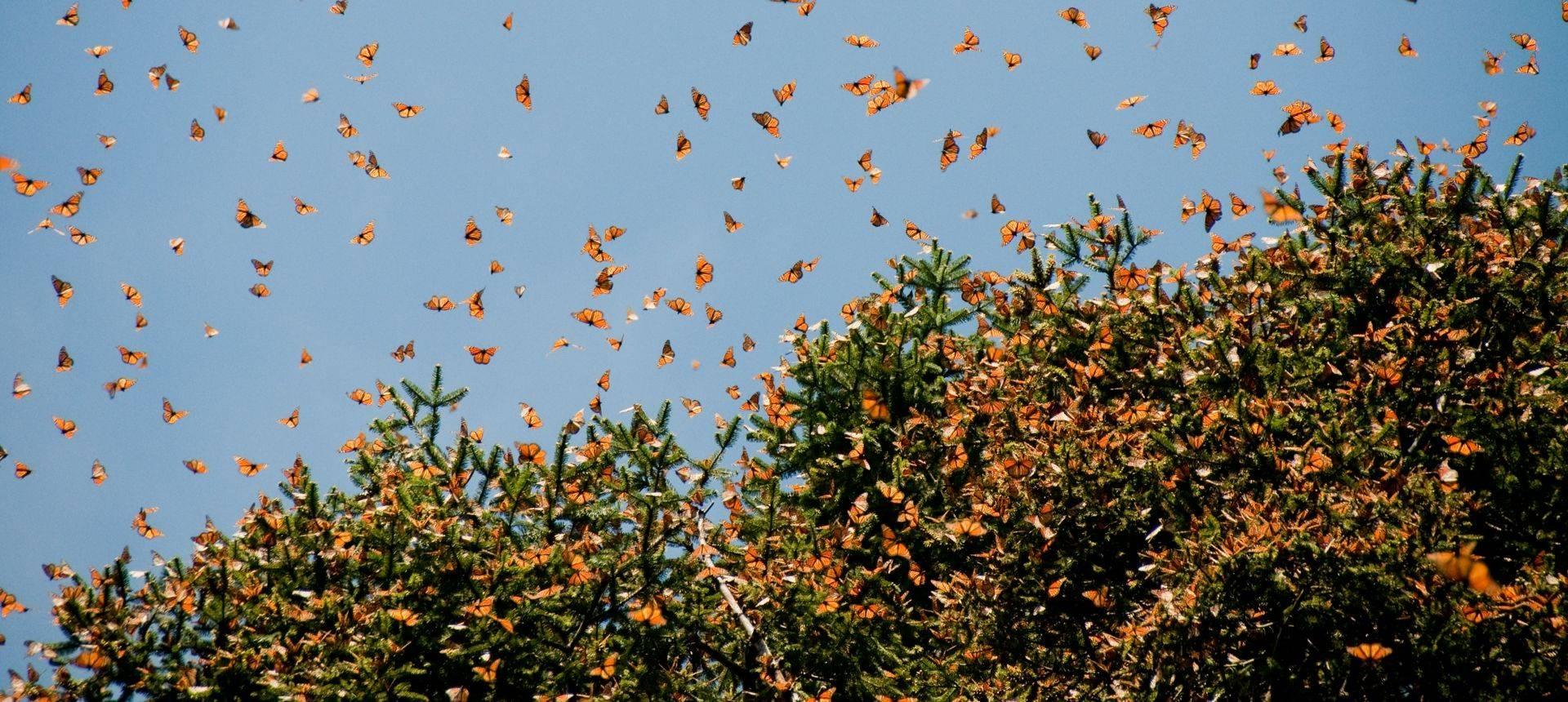 Monarch Butterfly Biosphere Reserve. Shutterstock 100246115