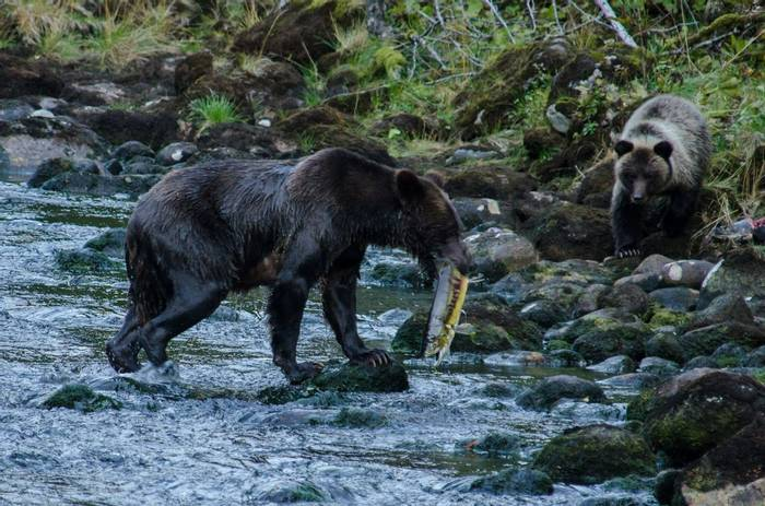 Grizzly Bear (Tim Melling)
