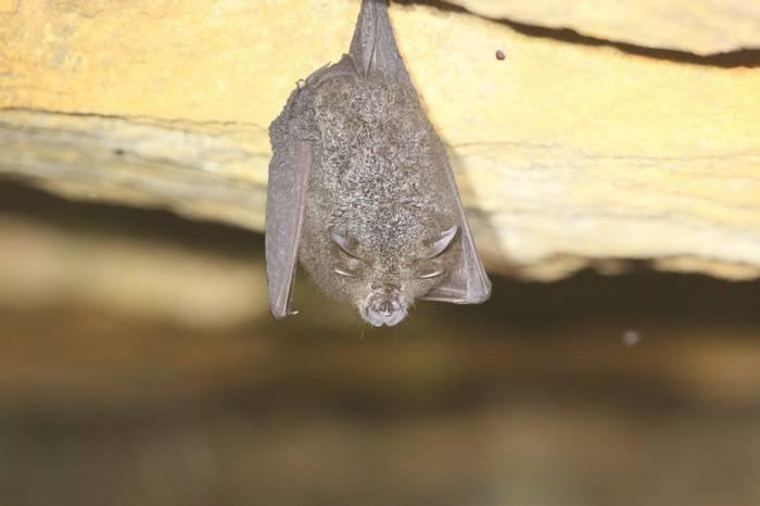 Lesser Woolly Horseshoe Bat