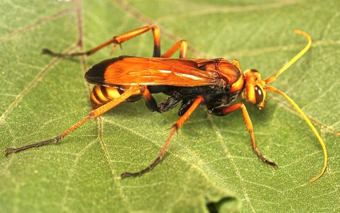 Cryptocheilus alternatus - a Pompilid wasp species (Alan Outen)
