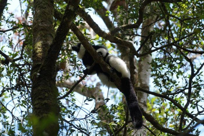 Black-and-white Ruffed Lemur (Ed Drewitt)