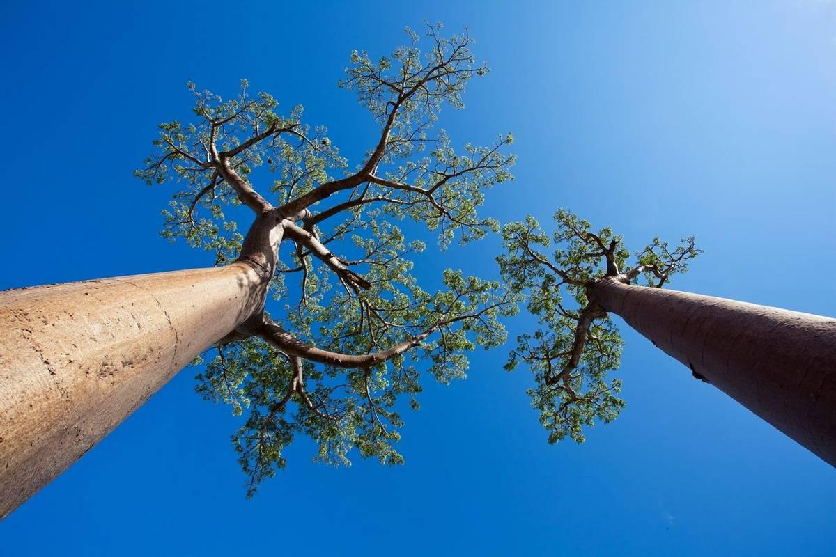 Baobabs (Jonas Christiansen)