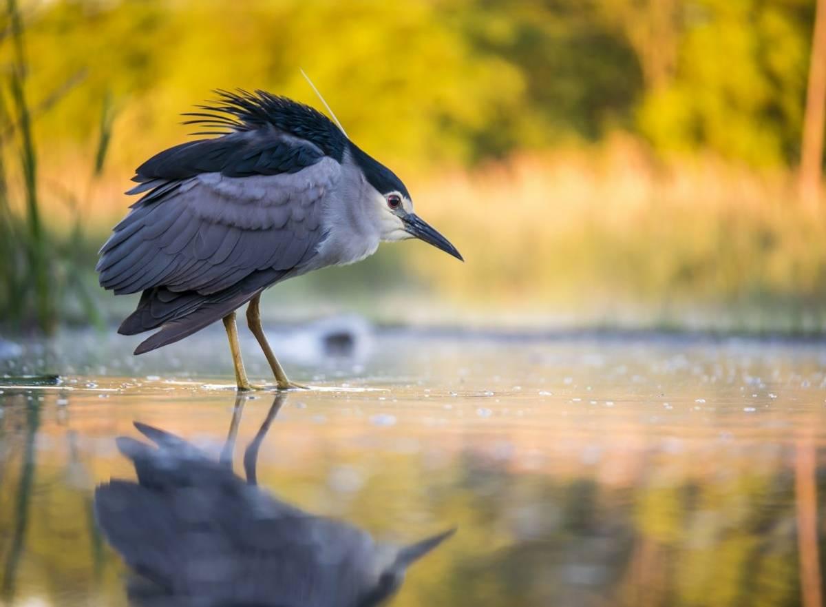 Black Crowned Night Heron. Shutterstock