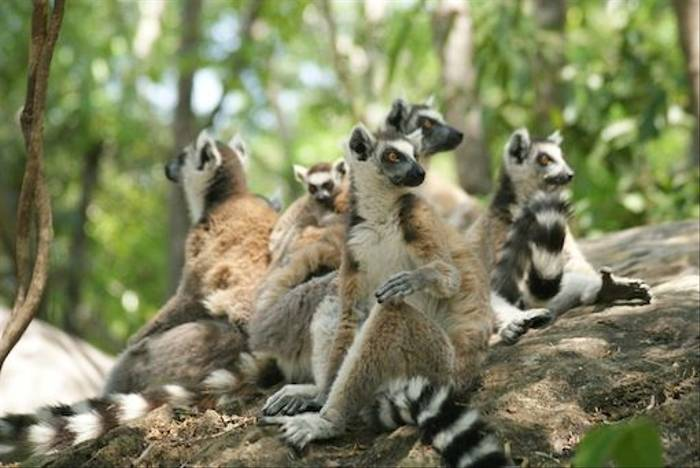 Troop of Ring-tailed Lemurs in the Namaza Canyon (Ed Drewitt)