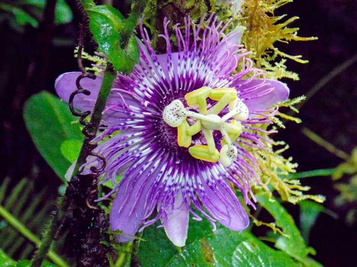 Passiflora sp., Naturetrek Reserve - Lou Jost