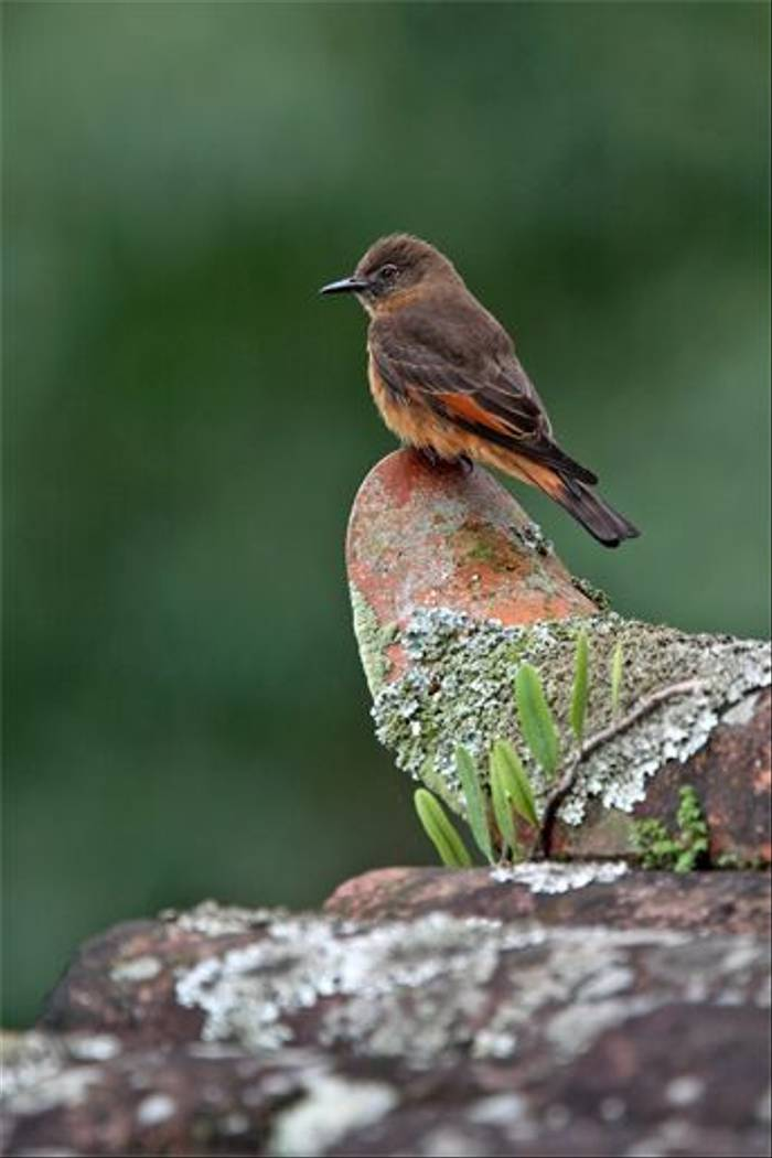 Cliff Flycatcher (Andy Swash)