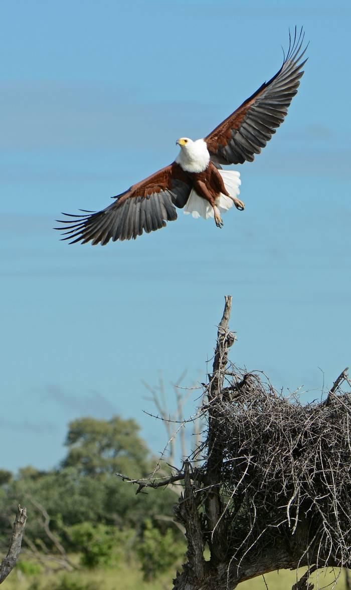 African Fish Eagle (Eric Browett)
